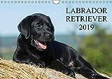 Labrador Retriever 2019 (Wandkalender 2019 DIN A4 quer): Labrador Retriever, eine der beliebtesten Hunderassen, auf 13 faszieniernden Fotos (Monatskalender, 14 Seiten ) (CALVENDO Tiere)
