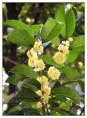 PLAT FIRM GERMINATIONSAMEN: Samen Laurus nobilis, Lorbeer Baum, Lorbeerbaum, Sweet-Bay, Bayleaf