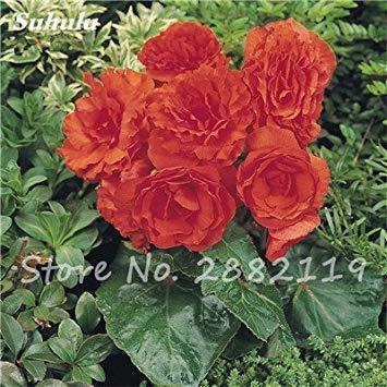 New Balcon usine 20 pièces colorées Begonia Graines de fleurs Rare Rose Rieger Begonia fleurs Begonia Plantes bonsaïs d'intérieur pour le jardin 12