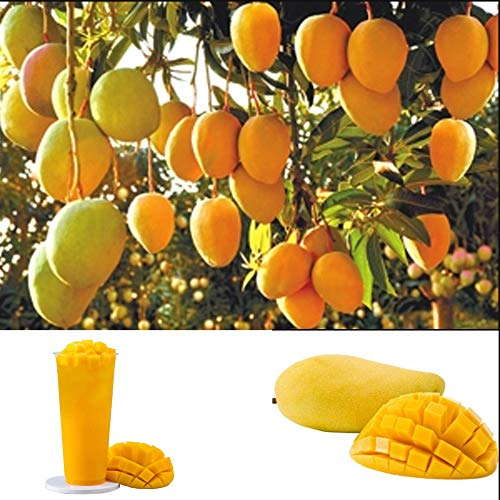 Exotische Essbare Mangifera indica Mango Samen 5Pcs, Artenreiche Mangobaum Mangopflanze Fruchtsamen Gemüsegarten Obstbaumsamen Pflanzensamen