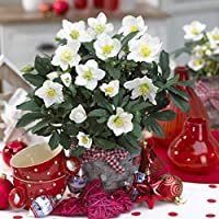 Helleborus Niger Christmas Roses in 1l Pots (Set of 3)