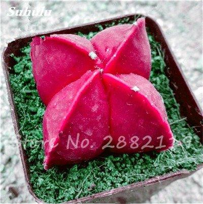 Succulentes graines fraîches 200 Pcs étoile à cinq branches charnus Graines rares Sempervivum Mix-types Fleurs Succulentes Plantes Bonsai 15 pot