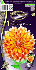 Schmuckdahlie lose Dahlia Peaches &amp Cream 1 St.