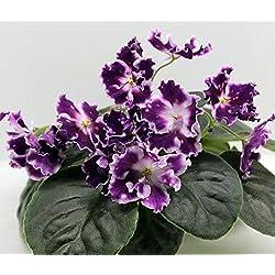 Portal Cool African Violet...