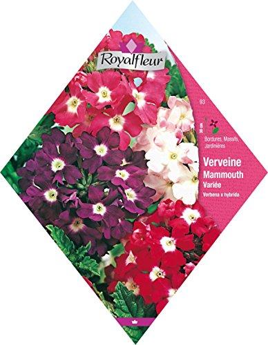 Royal Fleur - Semilla Verbena mammouth variada 1cor.