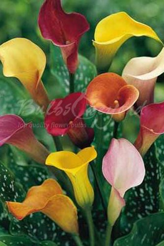 Zantedeschia Mélange - 20 Bulbes/rhizomes de Zantedeschia (Calla/Arum) - Livraison Gratuite