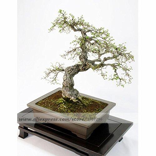 20 PCS, Ulmus davidiana var. japonica | Elm japonais - Graines Bonsai, Graine Arbre, graines d'arbres verts bricolage maison jardin
