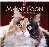 Maine Coon - Amerikanische Wildkatze 2019: Mittelformat-Kalender