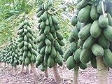 Golden Hills Farm Dwarf Red Lady Papaya Huge Production Hybrid Fruit 50 seeds