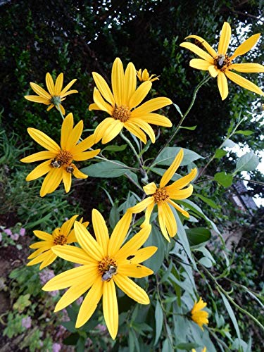 PLAT FIRM GERMINATIONSAMEN: Topinambur - Schokoladenduft Sonnenblume - 10 Pflanzen KNOLLEN