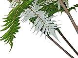 Silber-Baumfarn -Cyathea dealbata- 25 Samen/Sporen