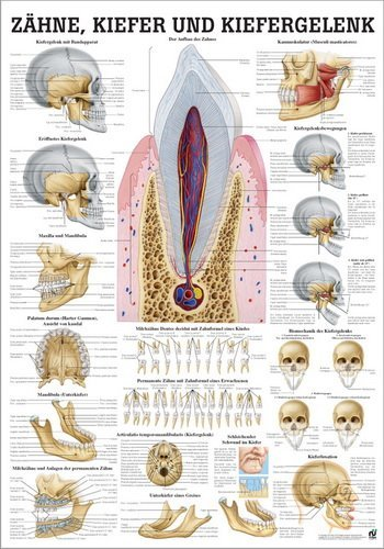 Ruediger Anatomie MIPO60 Zähne, Kiefer und Kiefergelenk Tafel, 24 cm x 34 cm, Papier