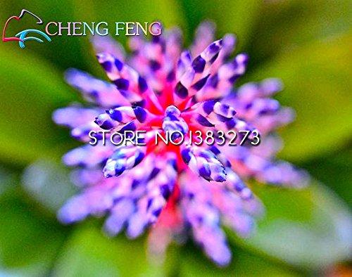 Best-vendita di 100pcs / lot Bromelia semi Mini Cactus Rare Seed Mini Pianta grassa Bonsai per la frutta e Orto Guarda