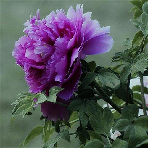 5 pièces / sac graines de pivoine, jaune, graines de fleurs de pivoine rose chinoise belles graines de bonsaï plantes en pot pour le jardin de la maison 9