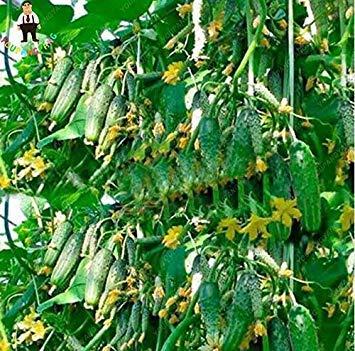 La vente de Hot 100 graines de fruits concombre Graines jaune vert rouge blanc concombre graines comestibles de semences de légumes Bonsai Maison et Jardin Noir