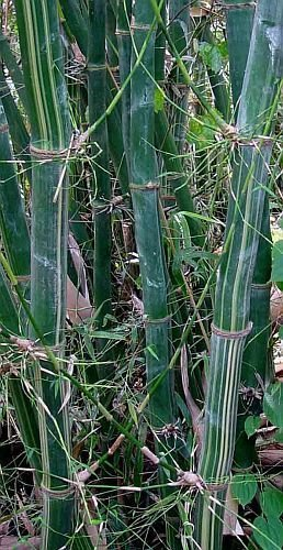Bambusa tulda - bambou bois des Indiens - 50 graines
