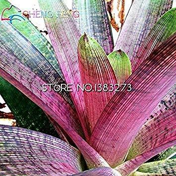 Vista 100 pz/Lotto Bromelia Semi Mini Cactus Semi Rari Mini Succulente Pianta Bonsai per Frutta E Verdura Giardino Guarda