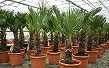 Trachycarpus Wagnerianus 160-180 cm Höhe. Frosthärteste Palme der Welt Bis - 17 Grad