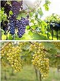 Weintrauben Pflanzen Regent und Phoenix Vitis Weinrebe winterhart Wein kernarm pilzfest knackig süß blau und hell ca. 60-100 cm jeweils im 2 Liter Topf