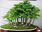 20 Samen Juniper Bonsai Baum für Büro zu Hause für mehr Sauerstoff Kleines Gewächs