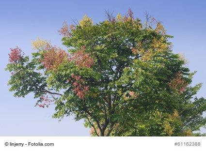 Blasenbaum Koelreuteria paniculata Lampionbaum FROSTHART 10 Samen