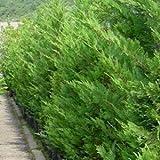 Cupressocyparis leylandii (Baumzypresse / Riesenzypresse) 100-125cm / 7,5l-Container (Heckenpflanzen, Nadelgehölze)