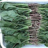 GEOPONICS 1000pcs: Suntoday caliente tolerante verde espinaca Tragonia expansa Vegable100Pcs