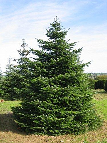 Nordmanntanne beliebter Weihnachtsbaum - Abies nordmanniana - 50-60cm im 5Ltr. Topf