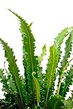 Farn Asplenium scolopendrium Angustifolia Hirschzungenfarn Bodendecker - verschiedene Größen