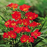 #7: Freesia Double Flower Bulbs Red (4 Bulbs) By Kraft Seeds