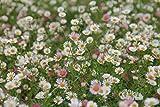 Erigeron karvinskianus 'Blütenmeer' (Zwerg-Feinstrahlaster) im 9 cm Topf