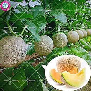 11.11 grande promotion! 50 pcs / lot géant graines d'arbres fruitiers de jus de graines de melon brodé jardin vert et la maison aweet plante vivace d'herbes biologiques