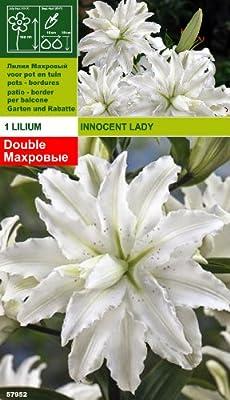 Rarität: Lilium orientalis - Lilie Innocent Lady von Mosselman bei Du und dein Garten