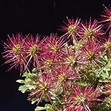 Stachelnüsschen, Acaena buchananii