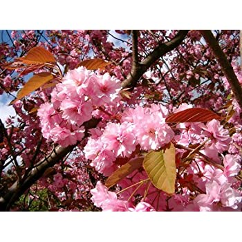 Japanese flowering cherry prunus kanzan in a 5l pot large japanese flowering cherry prunus kanzan in a 5l pot large double deep mightylinksfo