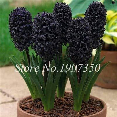 New Bonsai 100 pcs nouvelle Hyacinthus fleur de différentes variétés de mélange jacinthe Bonsai Balcon Fleur de jardin pour Noir (GRAINES SEULEMENT)