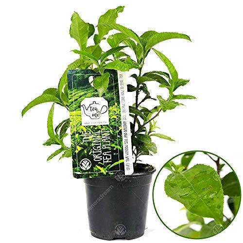 GardenersDream Camellia sinensis assemica 'Tea Plant' Healthy Indoor Office Plant in 11cm Pot