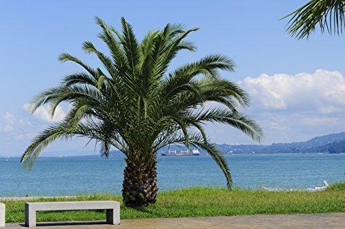 Phoenix roebelenii, Palme, Zwergdattelpalme, Gesamthöhe: 60--80cm Topf: Ø 21