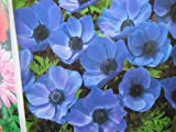 20 BLUE ANEMONE MR FOKKER CORMS BULBS FOR BORDER PATIO ROCKERY GARDEN PERENNIAL PLANT