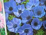 20 BLUE ANEMONE MR FOKKER CORMS BULBS FOR BORDER PATIO ROCKERY GARDEN PERENNIAL PLANT - Dstubbs Sales - amazon.co.uk