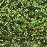 Fliederpolster, gelb, Cotula squalida