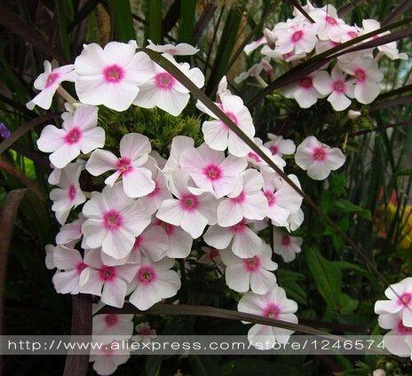 100% vrai jardin Balsam, impatiens, fleurs colorées en pot graines multicolores impatiens-100 PCS 10