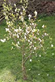 Portal Cool 20 Samen Tuplen-Magnolie, Magnolia Soulangiana # 504