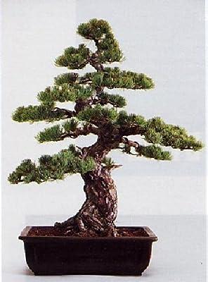 Tropica - Bonsai - Mädchenkiefer (Pinus parviflora) - 12 Samen von Tropica auf Du und dein Garten