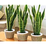 Generic Sanseveria (Pot Not Included) Air Purifier