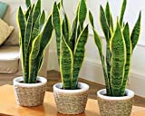 #8: Generic Sanseveria (Pot Not Included) Air Purifier