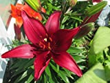 Lily grow from Bulbs.: Lilium