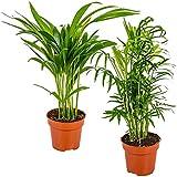 Pack 2 Palmeras de Interior Areca + Chamaedorea Plantas Naturales