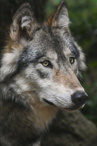 Close Up Gallery (Intent Wolf Up Close Journal: 150 Page Lined Notebook/Diary)