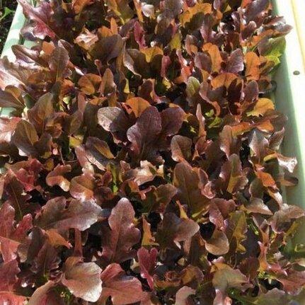 200pcs laitue de feuilles rouges semences de légume, végétales organiques jardin de la plante en pot feuilles de graines de laitue